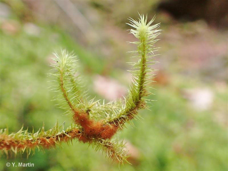 Breutelia chrysocoma