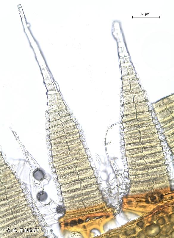 Brachytheciastrum collinum