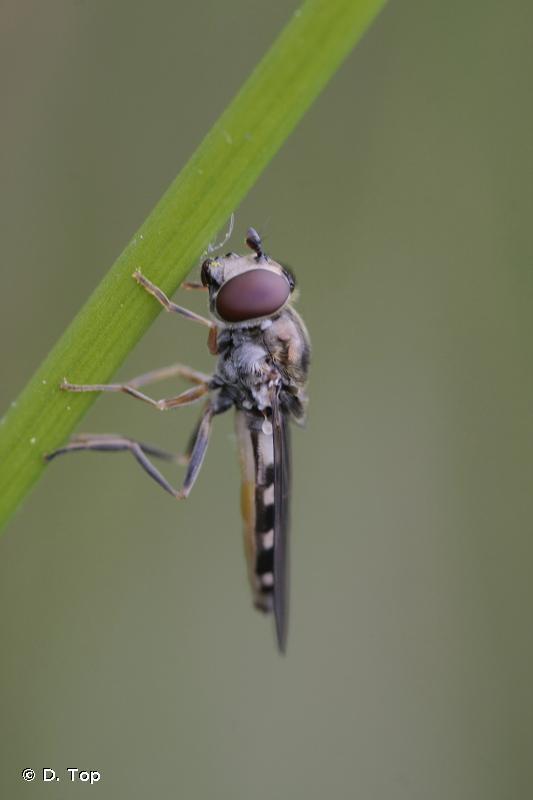 Platycheirus peltatus