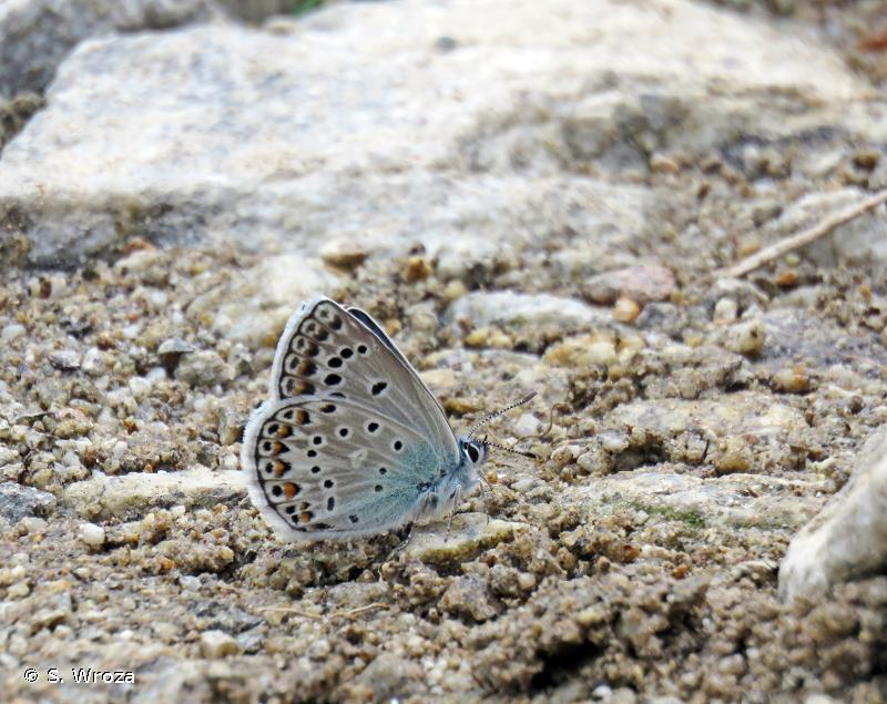 Polyommatus escheri