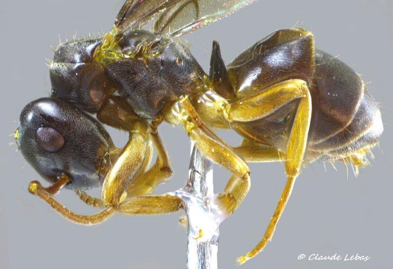 Lasius bicornis