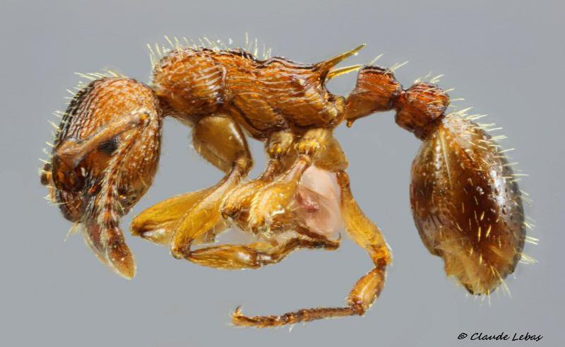 Myrmica lonae