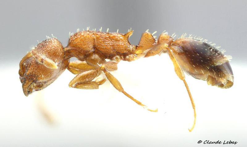 Temnothorax clypeatus