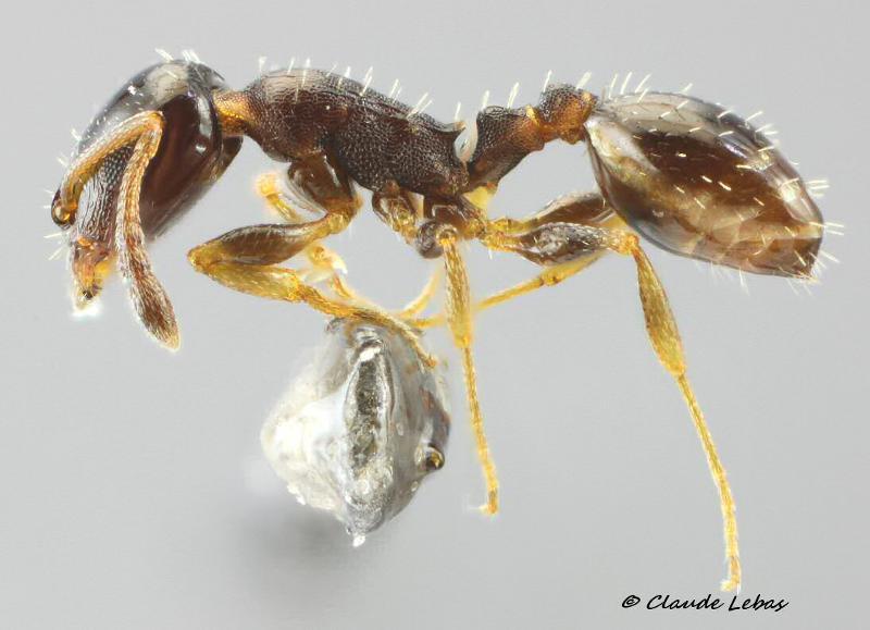 Temnothorax specularis
