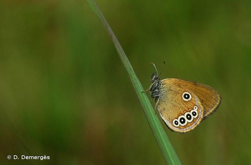 Coenonympha oedippus