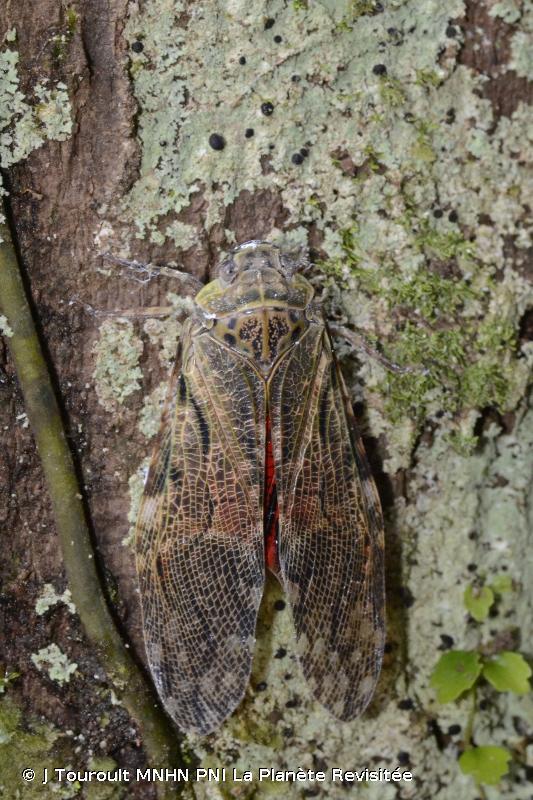 Aracynthus sanguineus