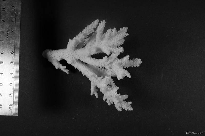 Acropora nasuta