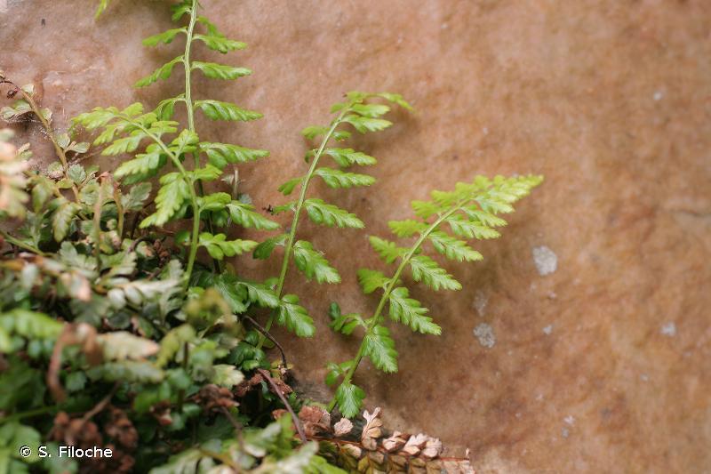 Asplenium obovatum subsp. billotii