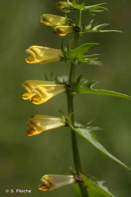 Melampyrum pratense