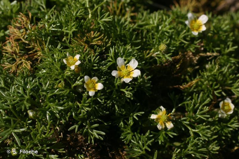 Ranunculus trichophyllus