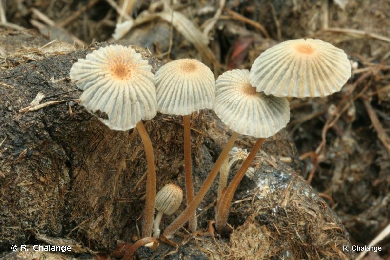 Coprinus curtus