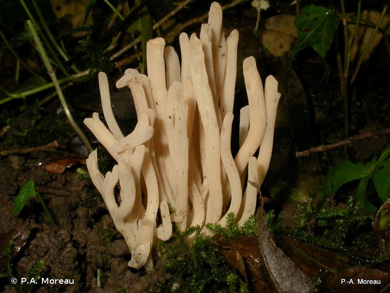 Clavulinopsis cinereoides
