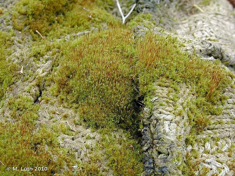 Ceratodon purpureus