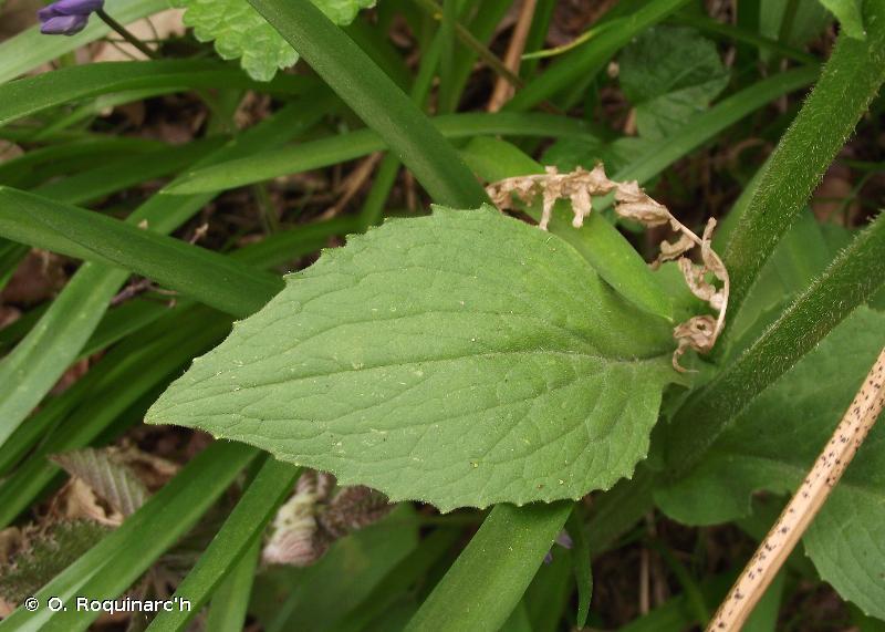 Doronicum plantagineum