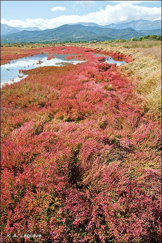 1310-3 - Salicorniaies des prés salés méditerranéens - Cahiers d'habitats