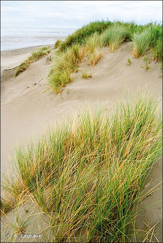 16.212 - Dunes blanches - CORINE biotopes