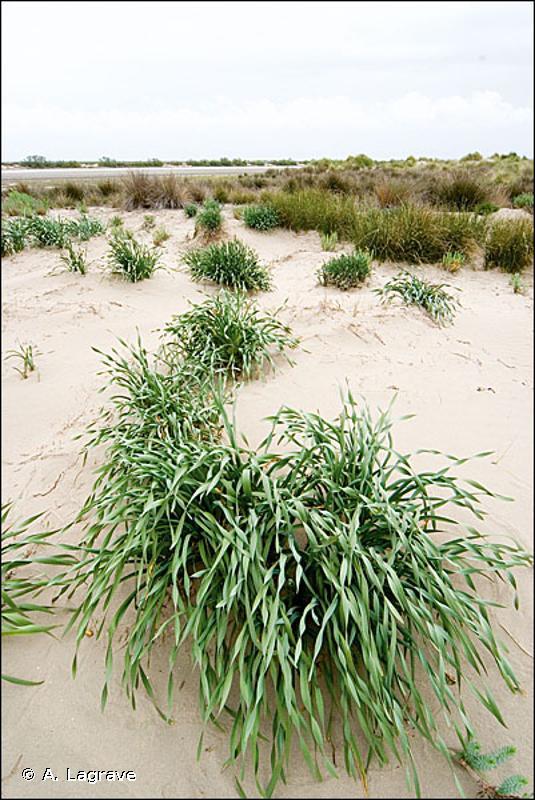 2120-2 - Dunes mobiles à <em>Ammophila arenaria</em> subsp. <em>australis</em> des côtes méditerranéennes - Cahiers d'habitats