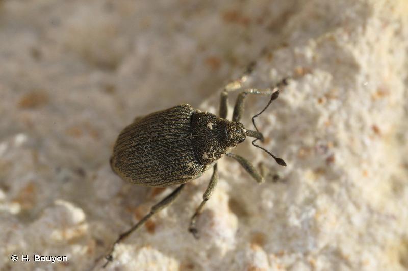 Ceutorhynchus napi