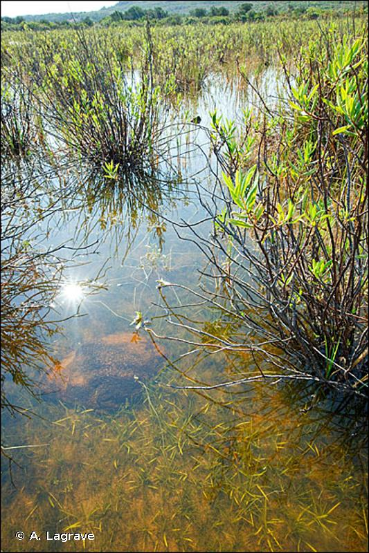 C3.421 - Communautés amphibies rases méditerranéennes - EUNIS