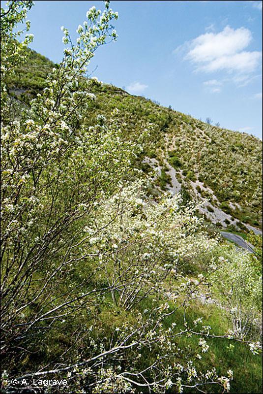31.8123 - Fruticées de stations rocailleuses à Cotoneaster et Amélanchier - CORINE biotopes