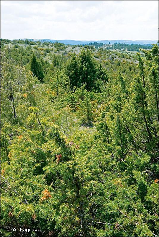 32.134 - Matorral arborescent à Juniperus communis - CORINE biotopes