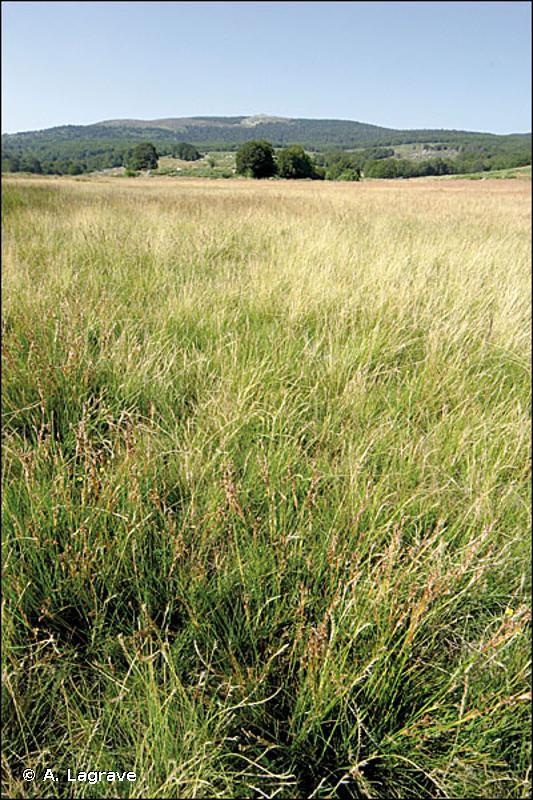 E3.52 - Prairies à <em>Juncus squarrosus</em> et gazons humides à <em>Nardus stricta</em> - EUNIS