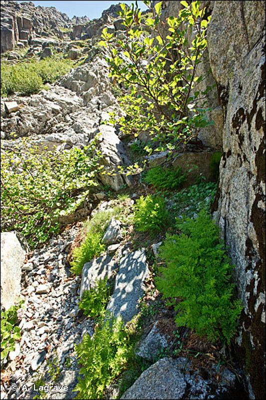 <em>Valeriano rotundifoliae - Adenostyletum briquetii</em> Gamisans 1977 - Prodrome des végétations de France décliné (PVF2)