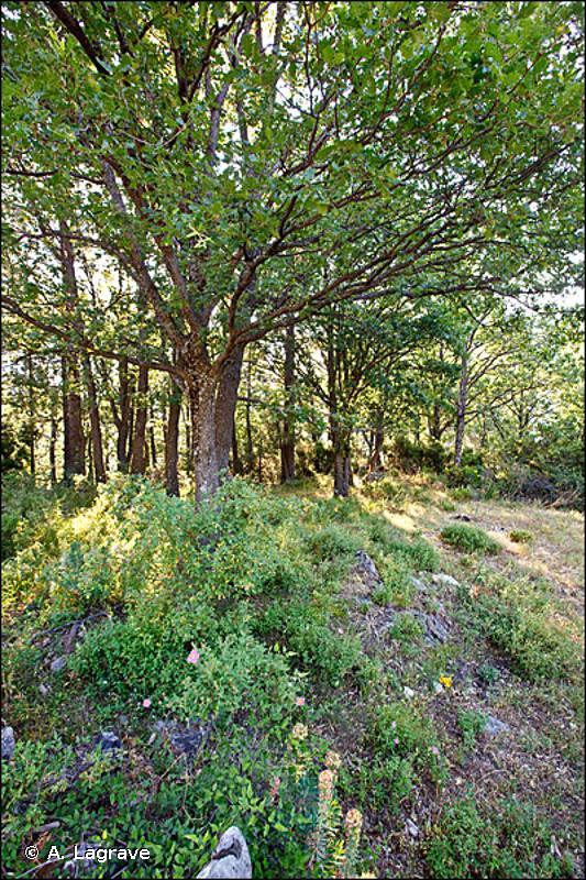 G1.7 - Forêts caducifoliées thermophiles - EUNIS