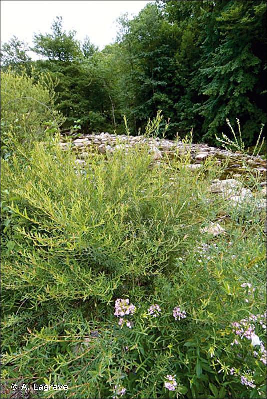 3280 - Rivières permanentes méditerranéennes du <em>Paspalo-Agrostidion</em> avec rideaux boisés riverains à <em>Salix</em> et <em>Populus alba</em> - Cahiers d'habitats