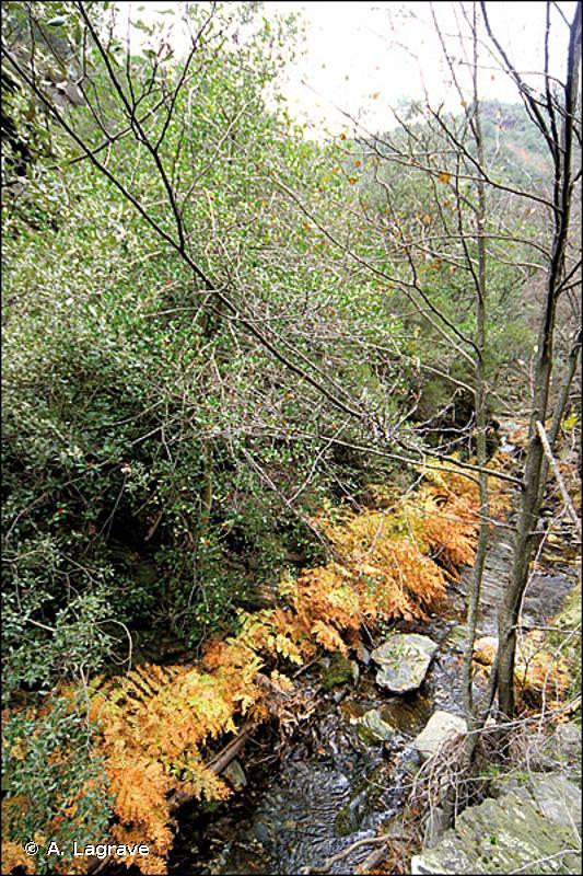 G1.131 - Forêts galeries méridionales à <em>Alnus glutinosa</em> - EUNIS
