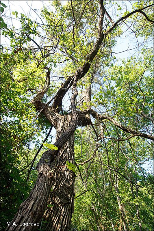 44.911 - Bois d'Aulnes marécageux méso-eutrophes - CORINE biotopes