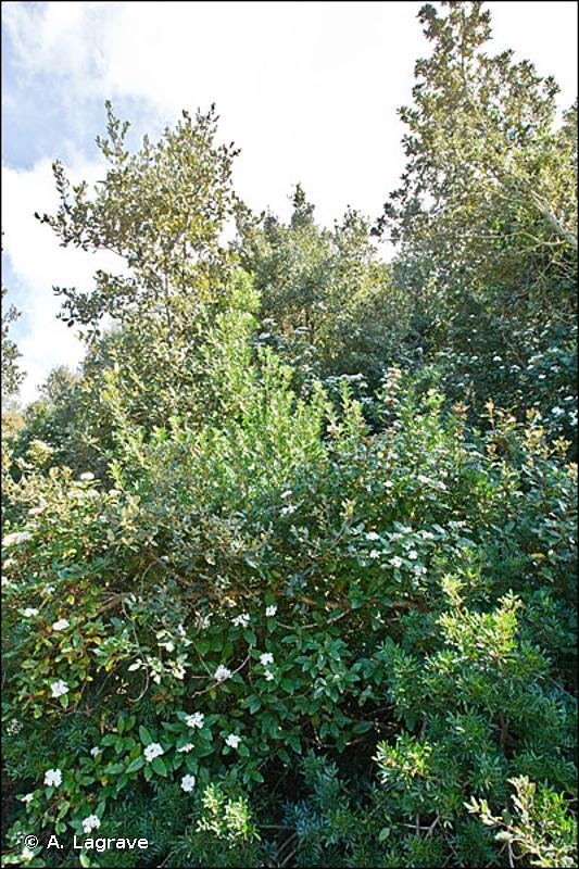 45.312 - Forêts de Chênes verts de la plaine catalo-provençale - CORINE biotopes