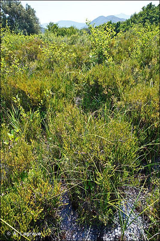 51.11 - Buttes, bourrelets et pelouses tourbeuses - CORINE biotopes