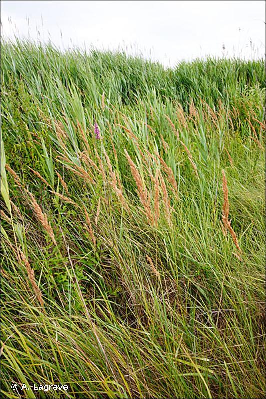 53.16 - Végétation à Phalaris arundinacea - CORINE biotopes