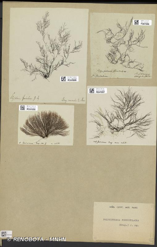 Polysiphonia foeniculacea