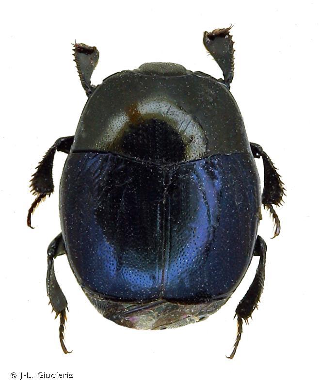 Euspilotus azureus