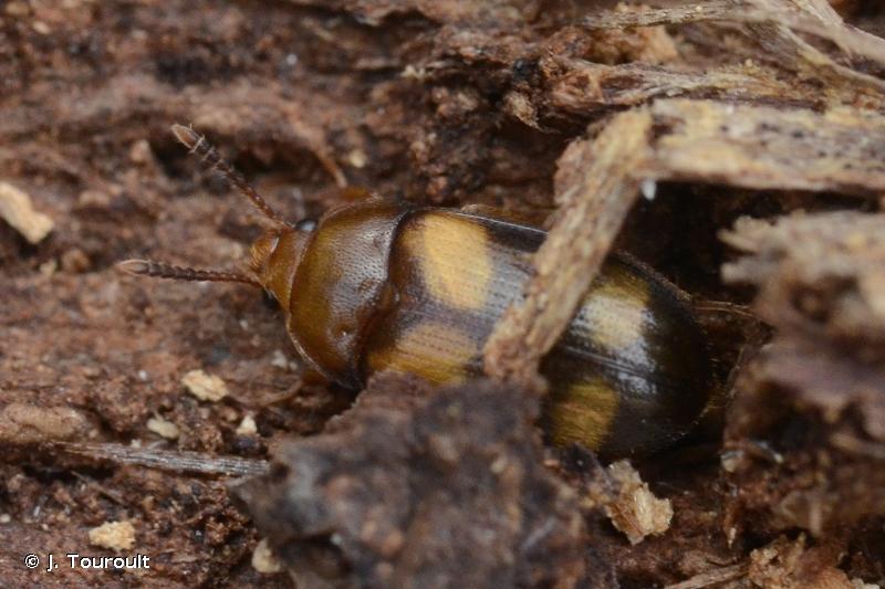 Mycetophagus piceus
