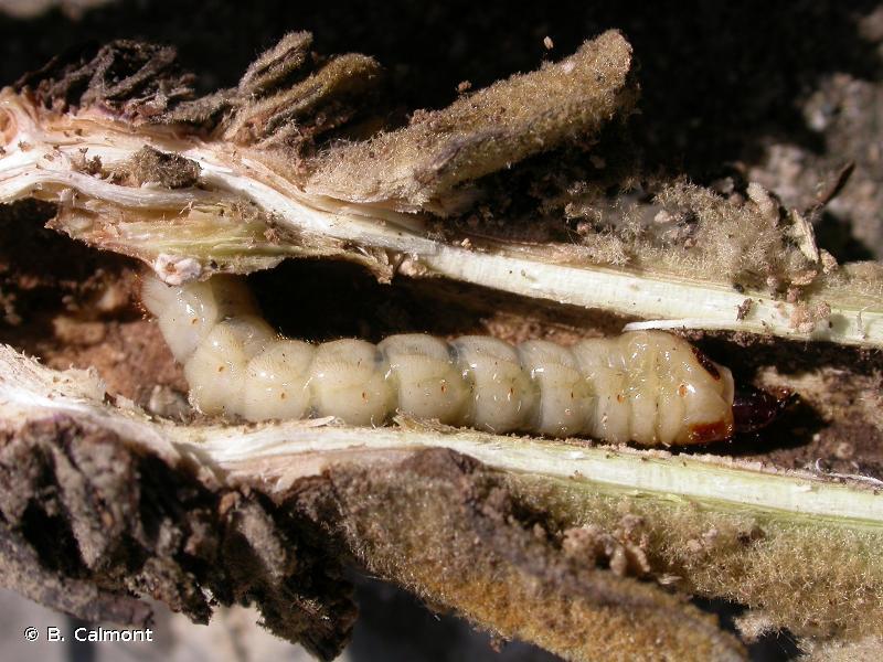 Agapanthia kirbyi