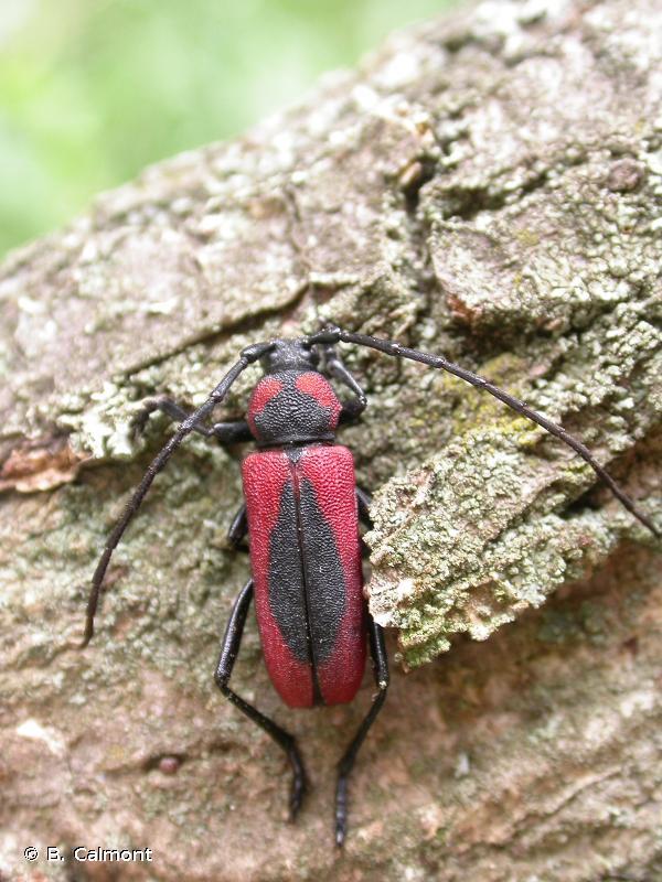 Purpuricenus globulicollis
