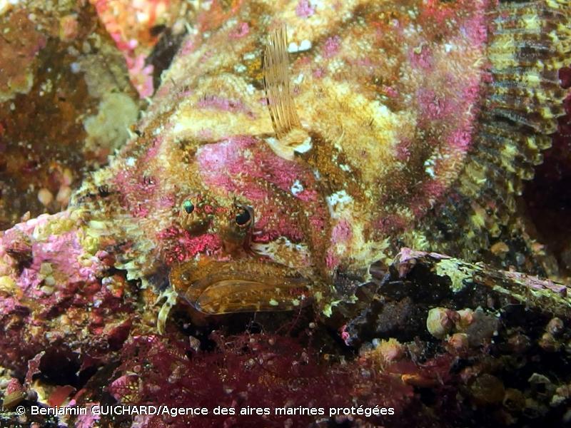 Zeugopterus regius