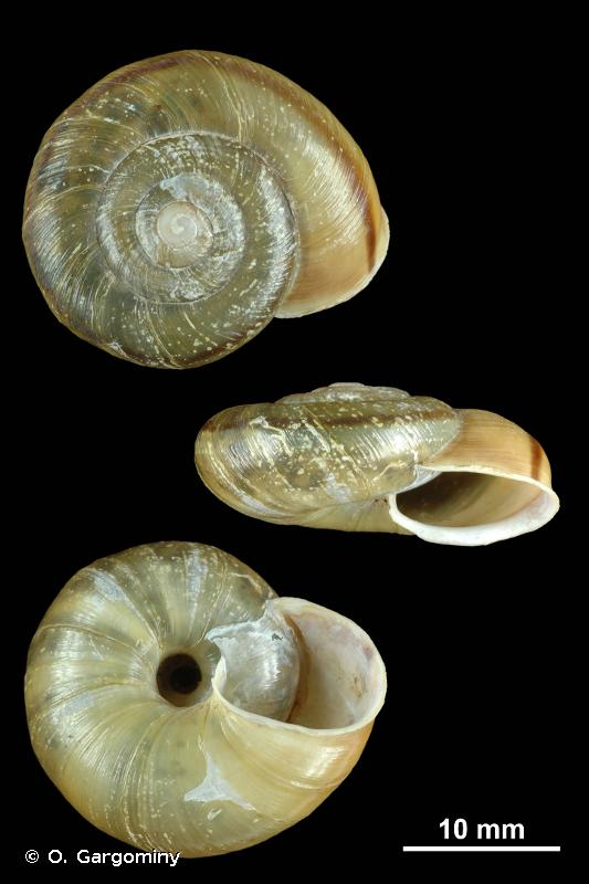 Chilostoma millieri