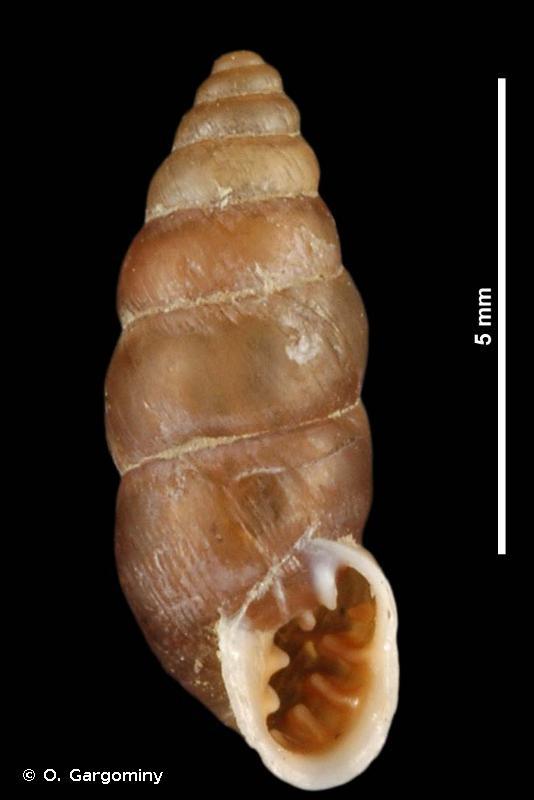 Chondrina megacheilos
