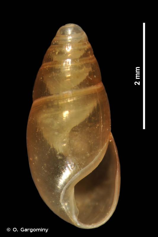 Cryptazeca monodonta