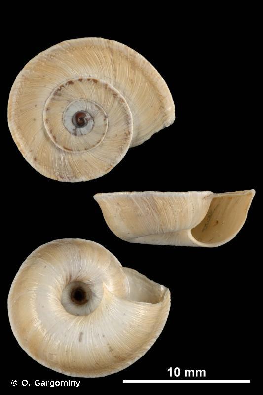 Xerosecta explanata