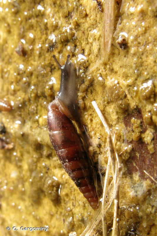 Macrogastra mellae