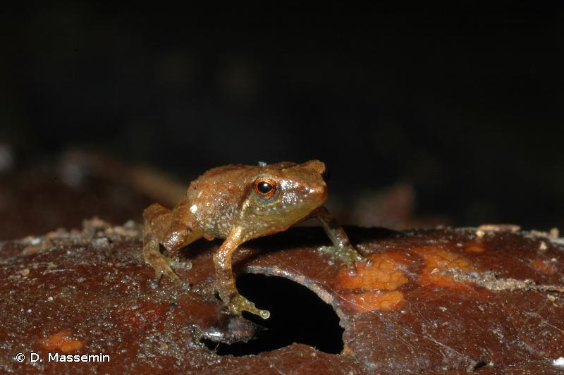 Eleutherodactylus pinchoni