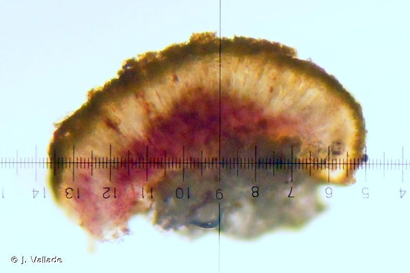 Protoblastenia calva