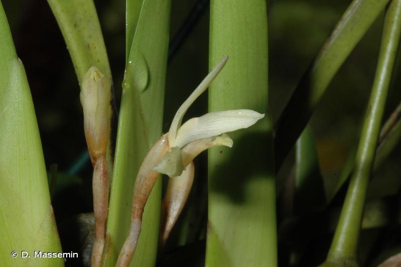 Maxillaria parkeri