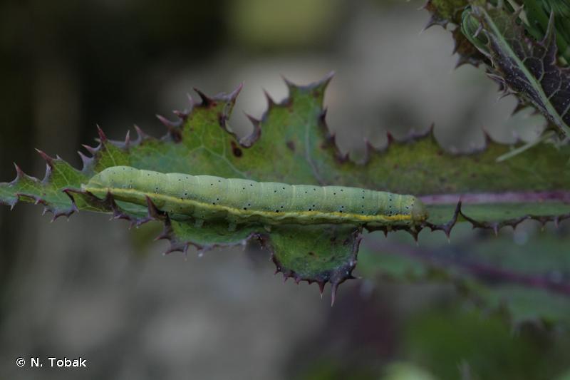 Lacanobia oleracea