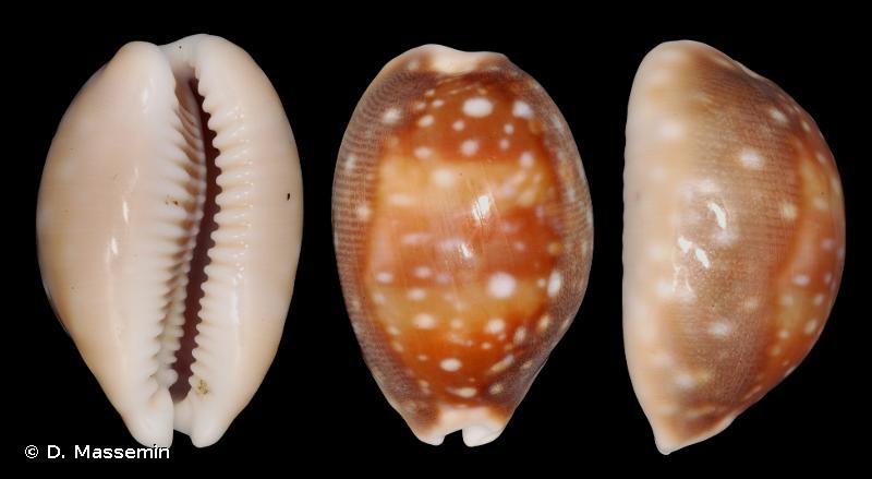 Lyncina vitellus